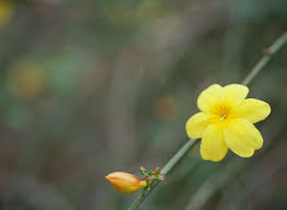 winter jasmine vines what they are how to grow them