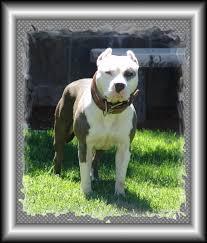 american pitbull terrier kennels usa purebred american pit bull terrier puppies for sale find a