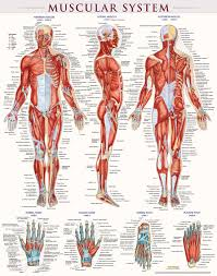Female Muscles Anatomy Female Muscle Anatomy Referring Anatomy Muscle Poster At Best