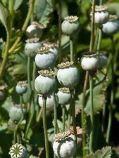 poppy seeds bulk ebay