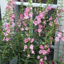 Plants For Patios In The Shade Top Ten Container Plants For Record Breaking Summer