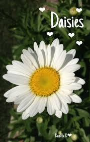 513 best daisies images on pinterest daisies flowers and daisy