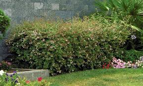 Fragrant Garden Plants Glossy Abelia Monrovia Glossy Abelia
