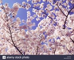 Japanese Cherry Blossom Tree by Cherry Blossom Background Blooming Japanese Cherry Tree Flowers