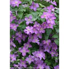 proven winners 3 gal jolly good clematis live shrub light