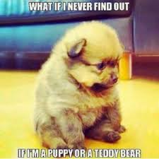 Pomeranian Meme - funny dog meme best collection of this is fine dog memes