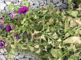 Plant Diseases Identification - petunia u2013 low ph high soluble salt damage umaine cooperative