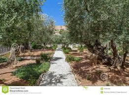 gardens of gethsemane in jerusalem stock photo image 49989482