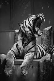 black and white photography tiger image 664855 on favim com