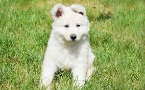 belgian shepherd breeders south africa white swiss shepherds puppies breed information u0026 puppies for sale