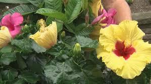 Tropical Plants For Garden - garden guru tropical plants for the backyard abc27