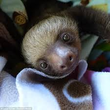 baby sloths learn to climb with the help of a rocking chair on