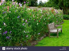 Climbing Plant Supports - lathyrus sweet peas pea grow growing up fence fencing plant