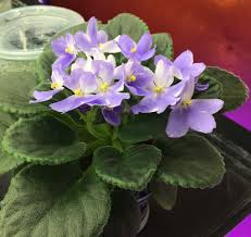 african violet grow light events growing african violets workshop and sale
