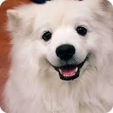 american eskimo dog michigan american eskimo dog dog for adoption in st bonifacius mn adn