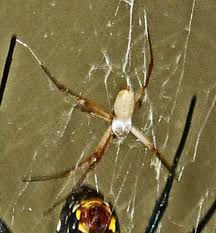 male and female yellow garden spiders in texas bugs in the news
