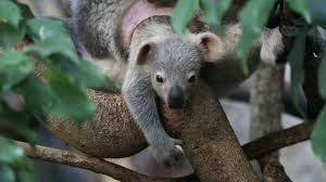 check out the uk u0027s only koala joey first news live first