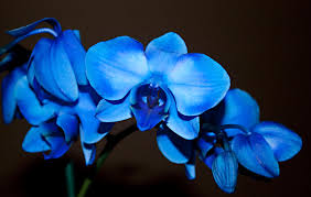 blue orchids a stem of beautiful blue orchids photograph by sherry hallemeier