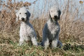 grooming a bedlington terrier puppy top grooming tips for a bedlington terrier pets4homes