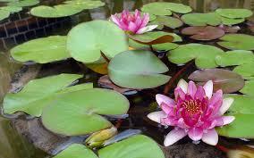pink lotus flower in japanese buddhist water garden japan photo