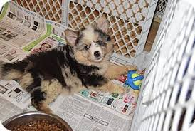 australian shepherd german shepherd callie adopted puppy hazard ky australian shepherd german