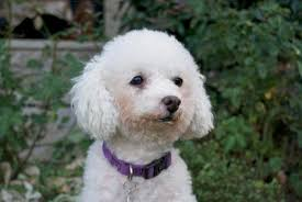 bichon frise dogs for adoption adopt a pet bichon frise mix maya is hhappy huggable adorable
