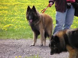 belgian shepherd dog club of canada bsdcc belgian shepherd dog club of canada ukc brampton
