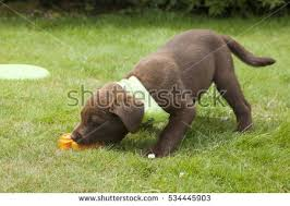 chocolate lab puppy stock images royalty free images u0026 vectors