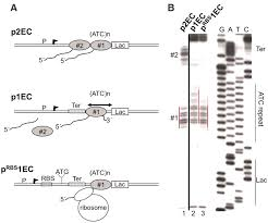 cooperation between translating ribosomes and rna polymerase in