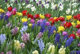 can i add bone meal to the ground around my tulips daffodils and