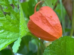 amazon com 100 chinese lantern winter or ground cherry