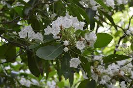 kalmia latifolia kalmia latifolia elizabeth u0027s wildflower blog