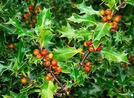 Christmas Plants 65 Best Christmas Houseplants Images On Pinterest Houseplants