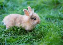 protect pet rabbits from the new rabbit virus golden plains
