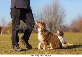 australian shepherd puppies queensland man with australian shepherd stock photos u0026 man with australian