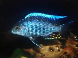 15 best lake malawi peacock cichlids images on pinterest african