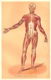 the 25 best human muscular system ideas on pinterest muscular