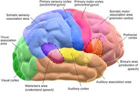 Outline The Anatomy And Physiology Of The Human Body Human Brain Wikipedia