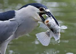black crowned night herons spell caution audubon