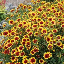 plante vivace soleil plantes vivaces coreopsis verticillata u0027bengal tiger