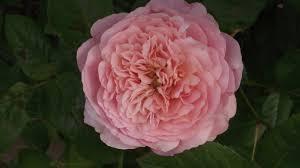 my roses u201d