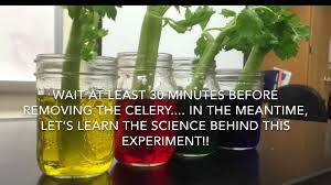 celery and food coloring experiment youtube