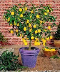 79 best tanaman images on pinterest exotic fruit fruit trees