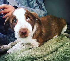 bluetick coonhound florida florida bluetick coonhound rescue u2015 adoptions u2015 rescueme org