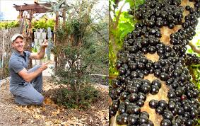 how to plant u0026 grow a jabuticaba tree brazilian grape youtube