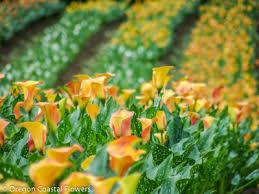 calla colors calla flowers oregon coastal flowers