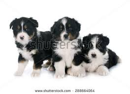 australian shepherd puppy 2 months two australian shepherd puppies 2 months stock photo 119652313
