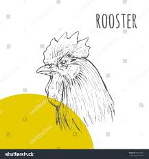 rooster vector pencil sketch illustration rooster stock vector