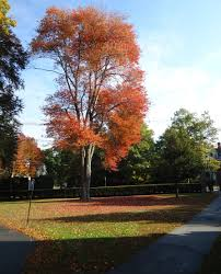file andover massachusetts phillips academy abbot cus tree in