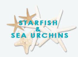 Where To Buy Seashells Australian Seashells Shells For Sale Starfish Seashell Shop